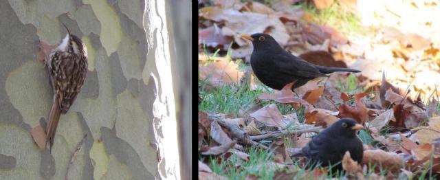 Agateador y mirlos comunes (1-12-2012)