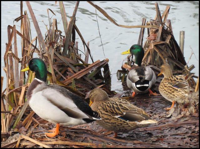 Varios ánades reales en la orilla (24-12-2012)