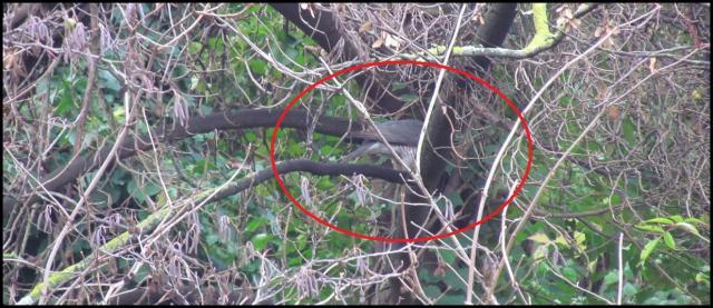 Desplumando su presa detras de una rama (20-12-2012)