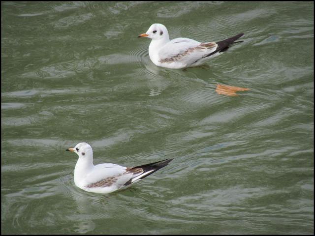 Gaviotas reidoras (9-12-2010)