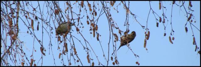Un lúgano a la izquierda y el pardillo sizerín a la derecha (30-12-2012)
