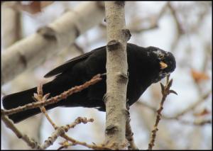 Mirlo con plumas blancas en el ojo (24-12-2012)
