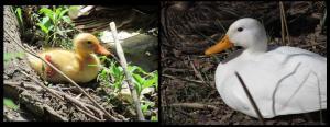 El pato leucístico de pollo (10-5-2011) y de adulto (26-3-2012)