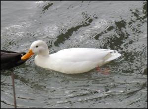 Pato leucístico (3-12-2012)