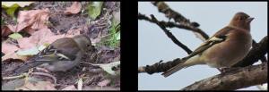 Pinzones vulgares 20-12-2012 (hembra y macho respectivamente)
