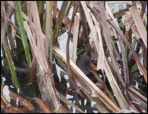 Polla de agua escondida entre la vegetación (26-12-2012)