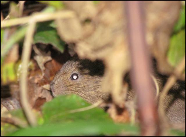 La rata de agua permanecía escondida e inmóvil por mi presencia (20-12-2012)