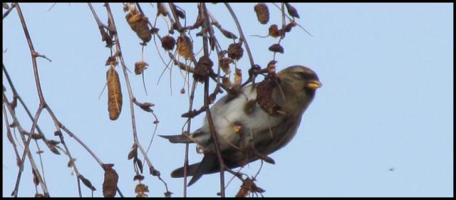 Pardillo sizerín colgado en la rama (30-12-2012)