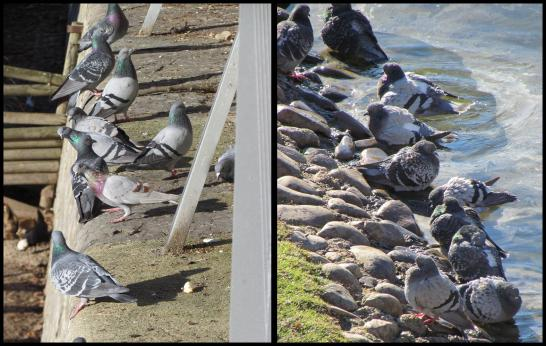Grupos de palomas en la Taconera (2013)
