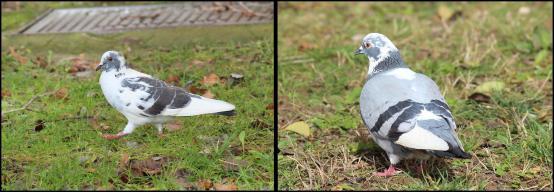 Palomas con plumajes parciales blancos (26-1-2013)