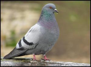 Ejemplar con plumaje similar al de la paloma bravía (30-12-2012)
