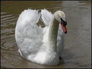Cisne de los habituales en San Jorge (24-5-2008)