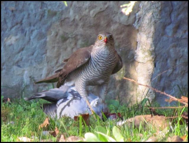 Con el pico ensangrentado la paloma daba sus últimos coletazos (5-1-2013)