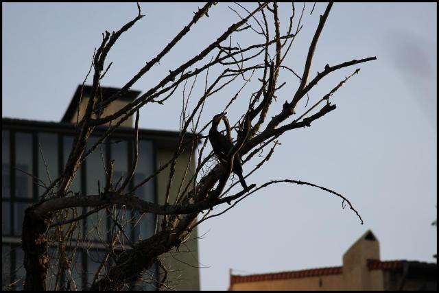 Cormorán en su posadero habitual con las casas de la parte vieja de Iruña de fondo (29-1-2013)