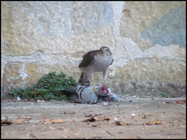 Gavilán con la paloma capturada (5-1-2013)