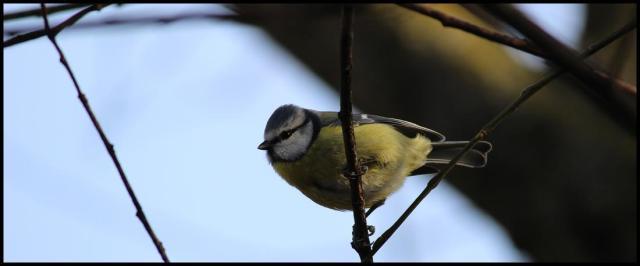 Herrerillo colgado de una rama (29-1-2013)