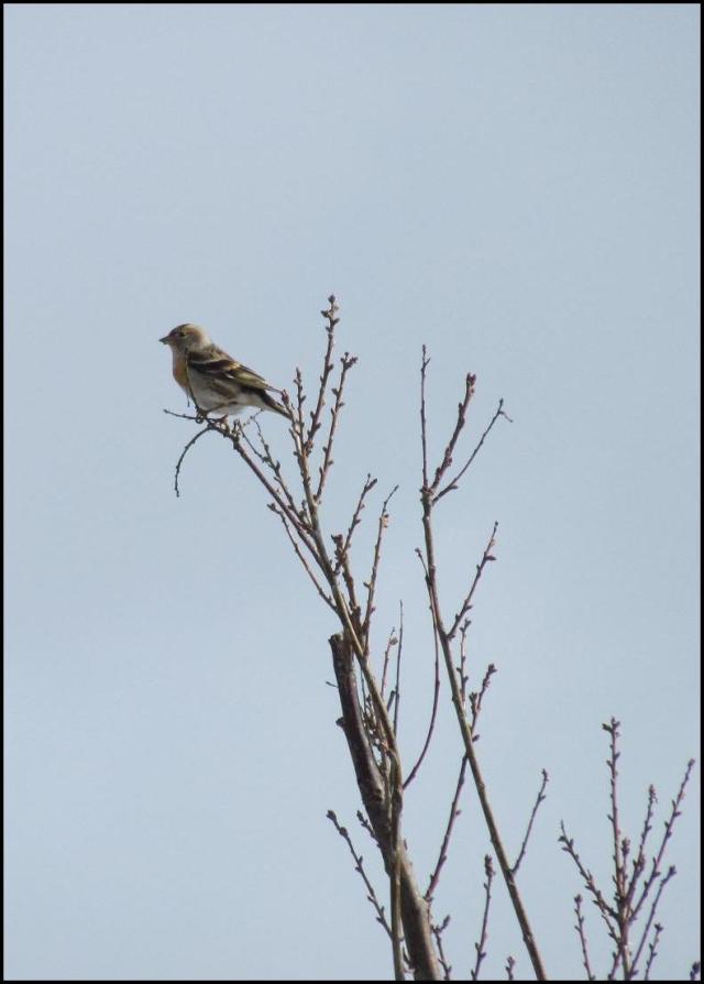 Pinzón real en lo alto de un árbol (26-1-2013)
