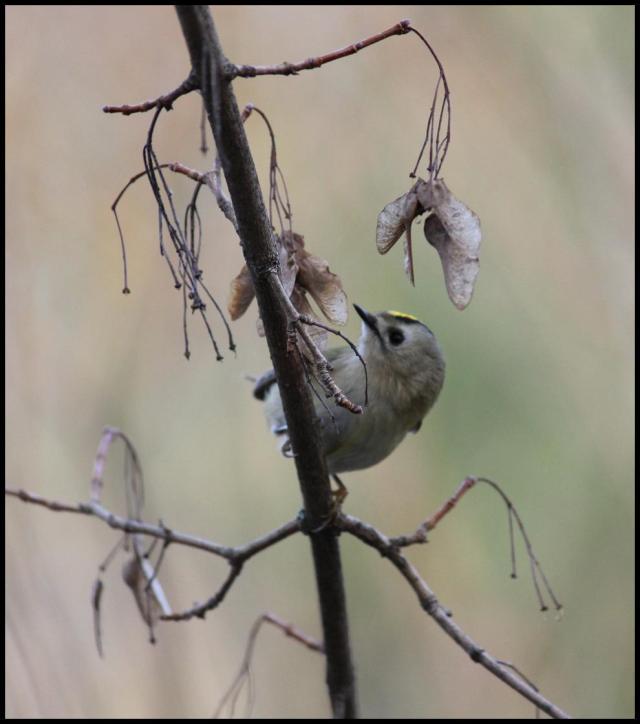 """Los """"movidos"""" reyezuelos no paran de moverse de rama en rama picoteando semillas (29-1-2013)"""