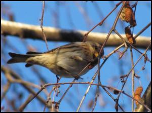 El pardillo sizerín continuaba en los árboles de siempre (5-1-2013)