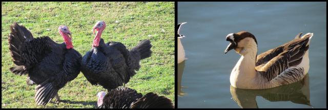 Pavos y un ganso en los fosos de la Taconera (6-1-2013)