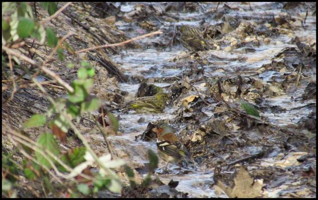 A pesar del frío, los pinzones y verdecillos se bañaban en el agua (26-1-2013)