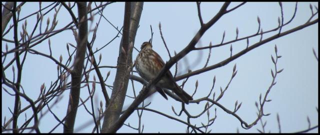 Zorzal alirrojo en lo alto de un árbol (3-2-2013)
