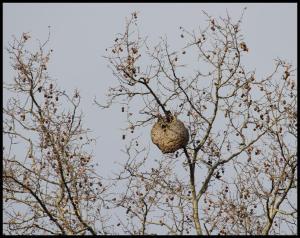 Avispero en lo alto de una rama (16-2-2013)