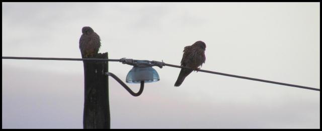 Al punto de la mañana la pareja de cernícalos permanecía inmóvil en los cableados (10-2-2013)