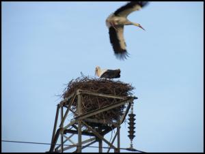 Una de las cigüeñas llega al nido (15-2-2013)