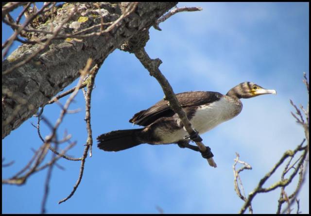 El cormorán descansaba desde lo alto de una rama (3-2-2013)