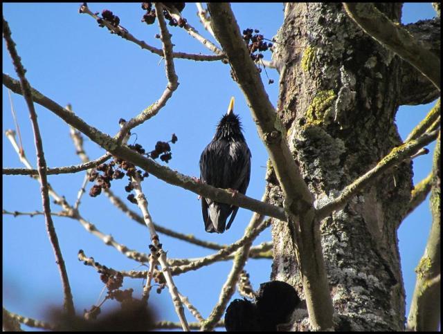 Grupos de estorninos dominaban las zonas altas de los árboles (3-2-2013)