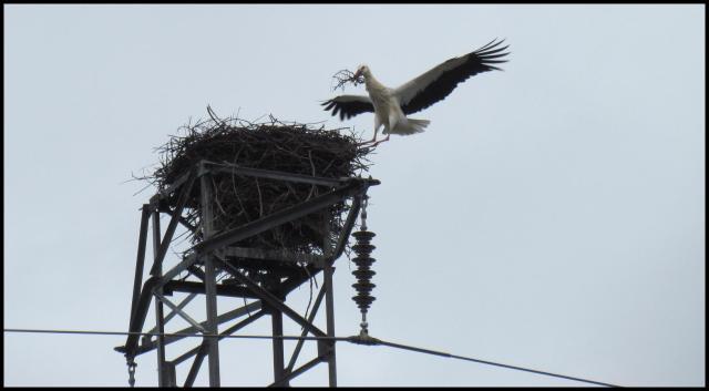 Llegada con material para añadir al nido (10-2-2013)