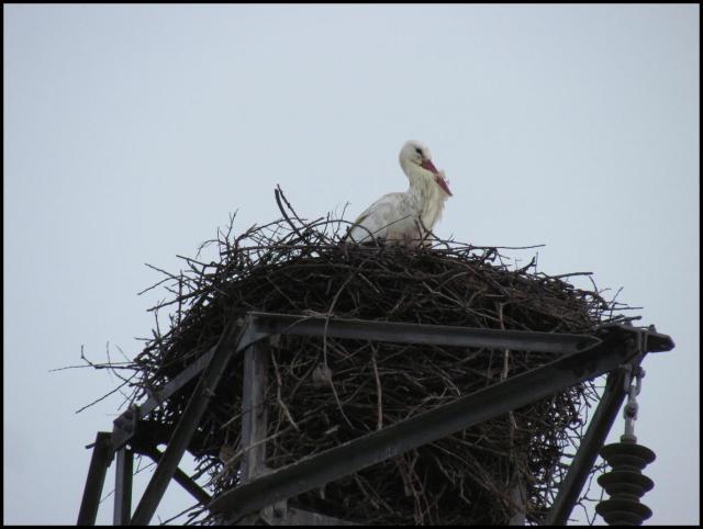 La cigüeña en el interior del nido (10-2-2013)