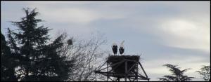 Pareja de cigüeñas en el nido (10-2-2013)