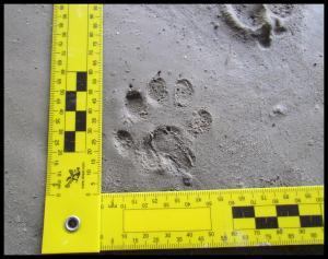 Huella de nutria (tamaño grande y 5 dedos)