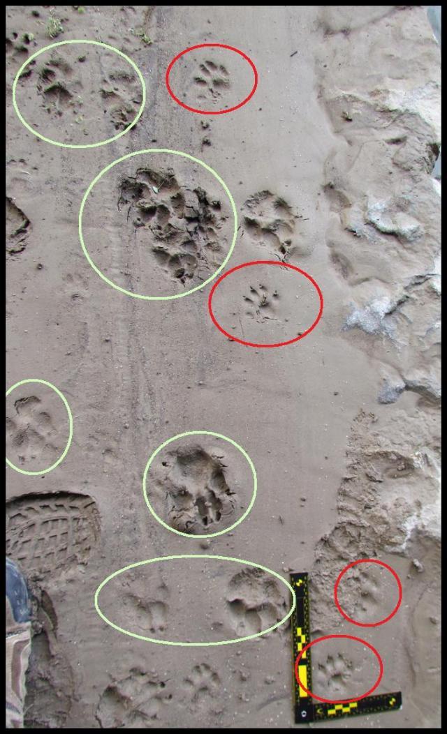 Huellas verdes de perro y rojas de nutria (20-2-2013)