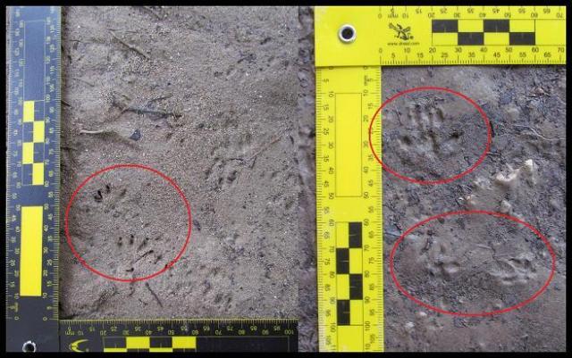 Huellas de micromamíferos; probablemente rata de agua (20-2-2013)