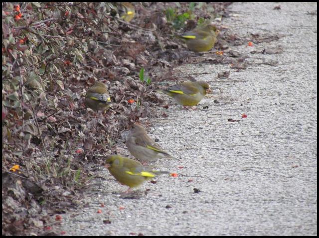 Los verderones se protegáin en el seto y picoteaban en el suelo (23-2-2013)