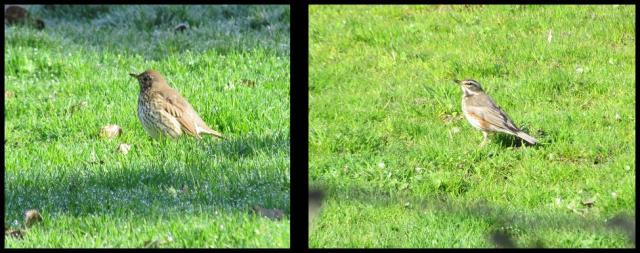 Zorzal común a la izquierda y zorzal alirrojo a la derecha (27-2-2013)