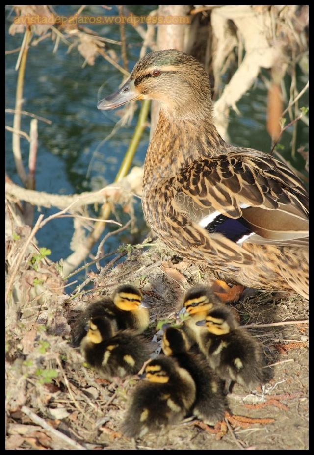 La hembra de ánade real descansa en la orilla siempre atenta con sus pequeños (22-3-2013)