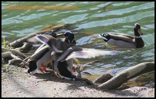 Dos machos de ánade real se pelean (22-3-2013)