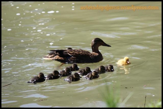 La hembra con los trece pollos (31-3-2013)