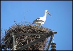 Una de las cigüeñas en el nido (1-3-2013)