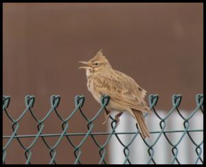 Cogujada cantando en la valla de las piscinas de Nuevo Artica (7-3-2012)