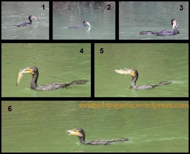 Secuencia en la que el cormorán se consigue tragar el pez que acababa de pescar (19-3-2013)