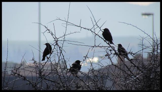 Grupo de estorninos en arbusto (6-3-2013)