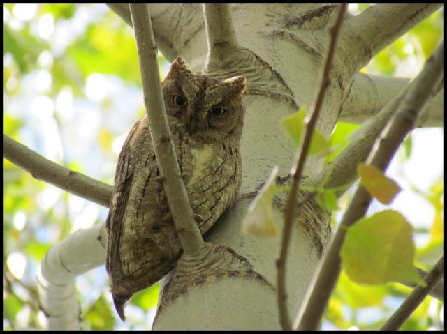 Autillo posado en una rama (1-5-2012)