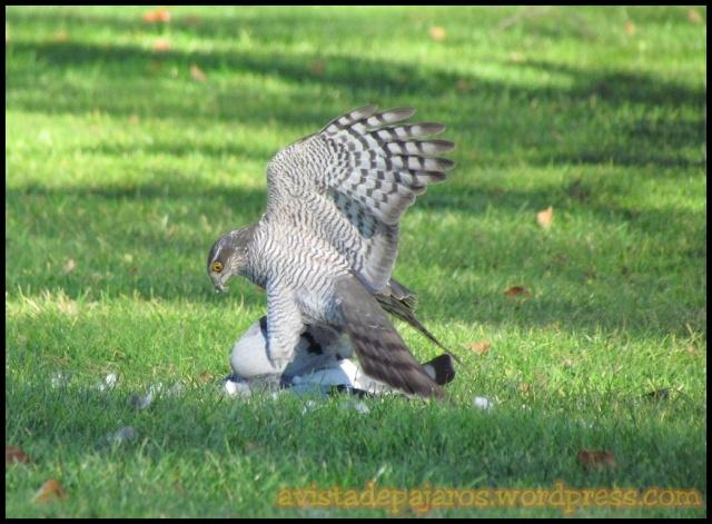Hembra con paloma recien cazada (5-1-2013)