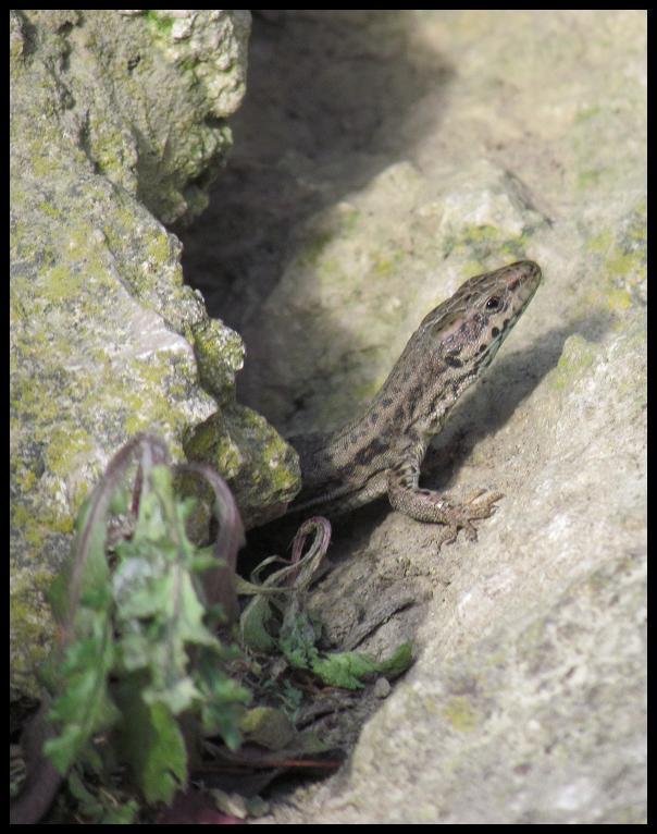 La asustadiza lagartija asomaba su cabeza entre las rocas (3-3-2013)