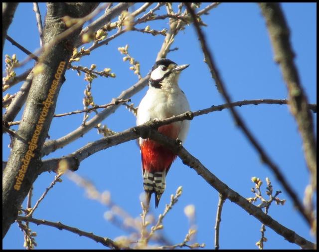 Picapinos en lo alto de una rama (31-3-2013)